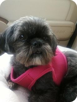 Shih Tzu Mix Dog for adoption in Plainfield, Connecticut - Mattie