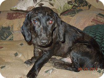 Dachshund Mix Dog for adoption in East Hartford, Connecticut - Blue Daple meet me 9/14