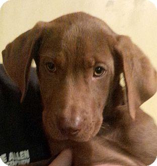 Labrador Retriever Mix Puppy for adoption in Westfield, Massachusetts - Sammy