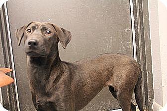 Labrador Retriever/Dachshund Mix Puppy for adoption in Pflugerville, Texas - Lelia