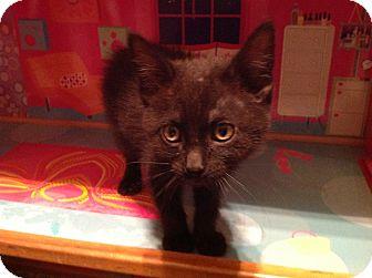 Domestic Shorthair Kitten for adoption in Des Moines, Iowa - Maverick