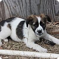 Adopt A Pet :: Tucker - PENDING, in Maine - kennebunkport, ME