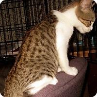 Adopt A Pet :: Splotch - Dallas, TX