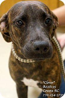 Plott Hound Mix Puppy for adoption in Newnan City, Georgia - Clover
