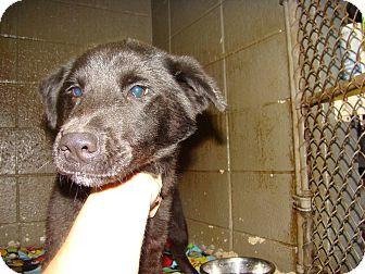 Labrador Retriever Mix Puppy for adoption in Henderson, North Carolina - Malcolm
