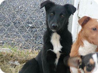 Border Collie Mix Puppy for adoption in Liberty Center, Ohio - Desiree