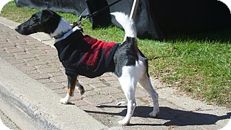Fox Terrier (Smooth) Dog for adoption in Salamanca, New York - Ruby