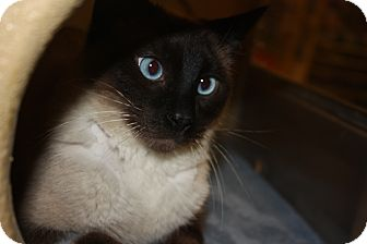 Siamese Cat for adoption in Arlington/Ft Worth, Texas - Parker