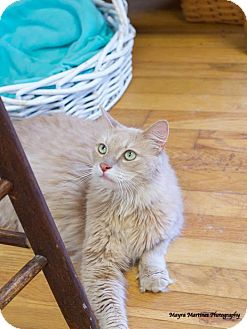 Maine Coon Cat for adoption in Chattanooga, Tennessee - Miko (Declawed)
