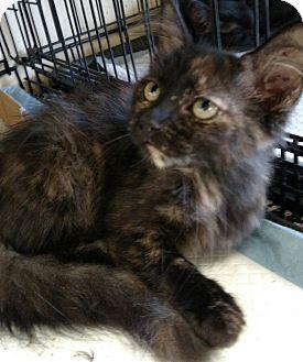 Maine Coon Kitten for adoption in Houston, Texas - Calli