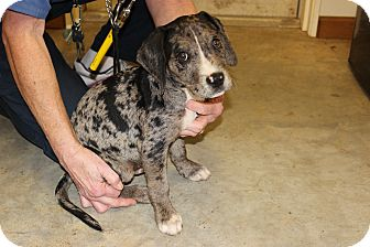 Catahoula Leopard Dog Mix Puppy for adoption in Brattleboro, Vermont - Leo