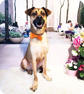 Labrador Retriever Mix Dog for adoption in Castro Valley, California - Kevin