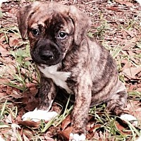 Adopt A Pet :: Sili - Gainesville, FL