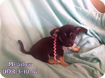 Chihuahua Mix Puppy for adoption in Rosamond, California - Meadow