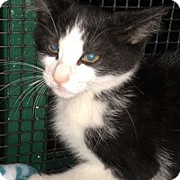 Domestic Shorthair Kitten for adoption in Porter, Texas - Matt