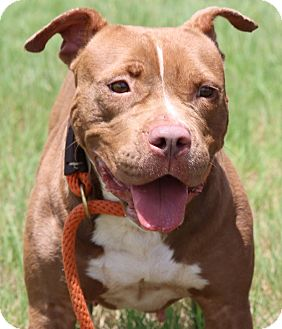 American Pit Bull Terrier Mix Dog for adoption in Pluckemin, New Jersey - Zinnia
