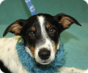 Jack Russell Terrier/Beagle Mix Dog for adoption in Jackson, Michigan - Benny
