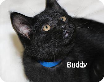 Domestic Shorthair Kitten for adoption in Idaho Falls, Idaho - Buddy