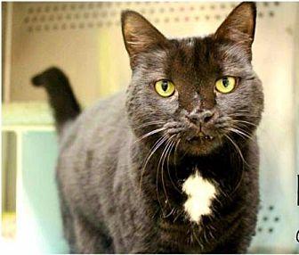 Domestic Shorthair Cat for adoption in Herndon, Virginia - Precious