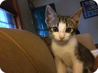 Domestic Shorthair Kitten for adoption in Wichita, Kansas - Jack