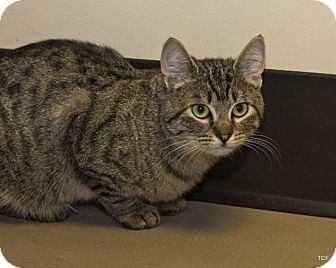 Domestic Shorthair Cat for adoption in Bellingham, Washington - Libby