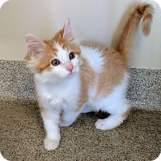 Domestic Shorthair Kitten for adoption in Gahanna, Ohio - ADOPTED!!!   Jessie
