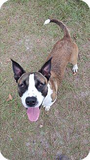 Akita/Labrador Retriever Mix Dog for adoption in Umatilla, Florida - Calvin