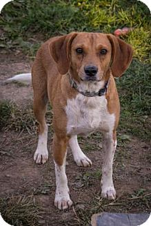 Beagle Mix Dog for adoption in Fairfax, Virginia - Skipper