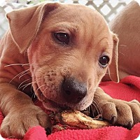 Labrador Retriever/Terrier (Unknown Type, Medium) Mix Puppy for adoption in Hockessin, Delaware - Fallon - Adoption Pending