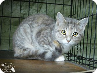 Domestic Shorthair Cat for adoption in Marlinton, West Virginia - Alexa