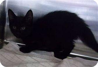 Domestic Mediumhair Kitten for adoption in Kailua-Kona, Hawaii - Watermelon
