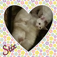 Domestic Shorthair Kitten for adoption in Cedar Springs, Michigan - Stix