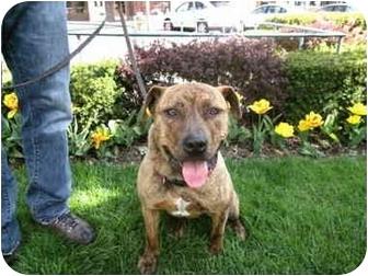 Shar Pei/American Staffordshire Terrier Mix Dog for adoption in Dayton, Ohio - Tiger