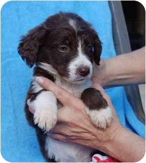 Spaniel (Unknown Type)/Australian Cattle Dog Mix Puppy for adoption in Broomfield, Colorado - Reel
