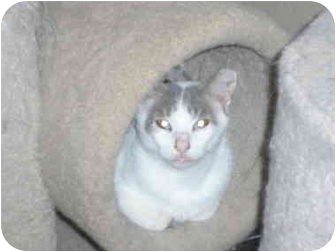 Domestic Shorthair Cat for adoption in Marion, Wisconsin - Oliver