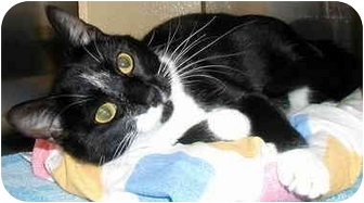 Domestic Shorthair Cat for adoption in San Diego, California - Peyton