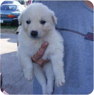 Labrador Retriever/Border Collie Mix Puppy for adoption in Rochester, New Hampshire - Lola