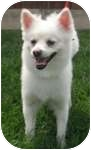 American Eskimo Dog Mix Dog for adoption in Wheaton, Illinois - Ronnie