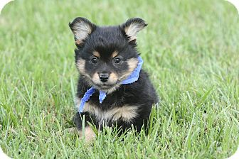 Chihuahua/Pomeranian Mix Puppy for adoption in Glastonbury, Connecticut - Sid