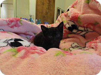 Domestic Shorthair Kitten for adoption in Phoenix, Arizona - Jasmine