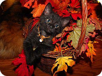 Domestic Shorthair Kitten for adoption in Xenia, Ohio - Bear