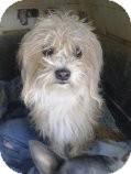 Maltese Mix Dog for adoption in Las Vegas, Nevada - Buddy