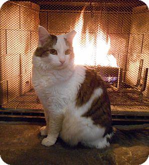 Turkish Van Cat for adoption in Richland, Michigan - Mona