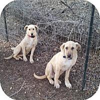 Adopt A Pet :: Johnny (bonded with Suki) - Santa Fe, NM