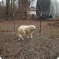 Adopt A Pet :: Yogi Bear - Dandridge, TN