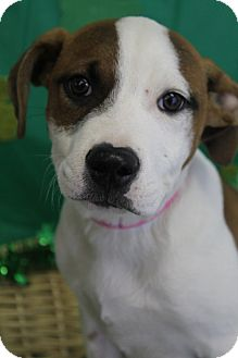 American Bulldog Mix Puppy for adoption in Waldorf, Maryland - Buttercup