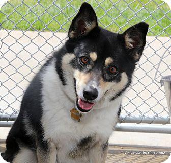 Shiba Inu Mix Dog for adoption in Sierra Vista, Arizona - Nala