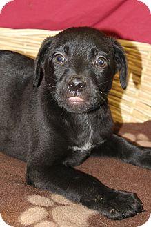 Labrador Retriever/Hound (Unknown Type) Mix Puppy for adoption in Waldorf, Maryland - Gonzo