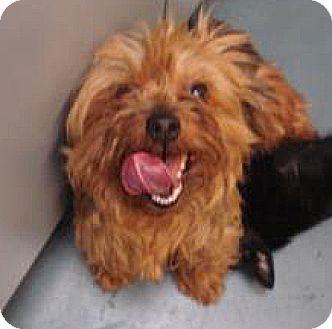 Yorkie, Yorkshire Terrier Mix Dog for adoption in Spokane, Washington - Daisy
