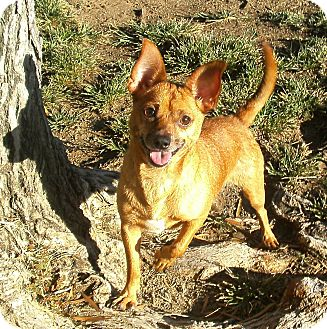 Chihuahua Mix Dog for adoption in El Cajon, California - Brody